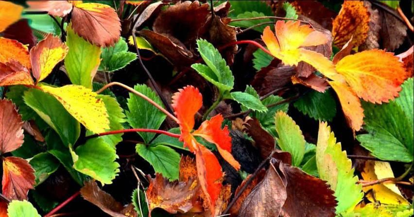 Догляд за полуницею восени і підготовка до зими
