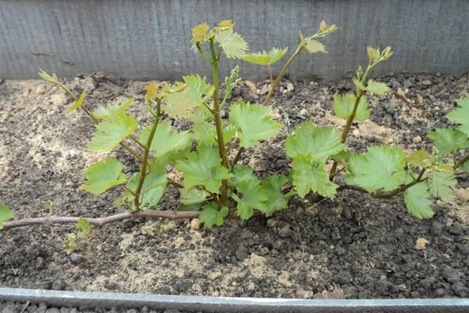 Як правильно посадити виноград навесні
