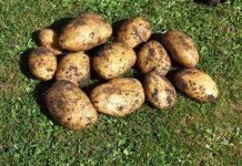 Як вирощувати картоплю за голландською технологією