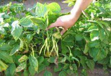 Як садити квасолю