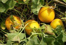 Як вирощувати дині з розсади