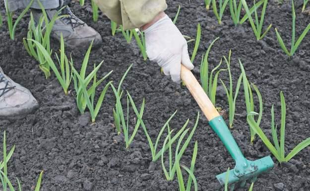 Садимо часник на весні