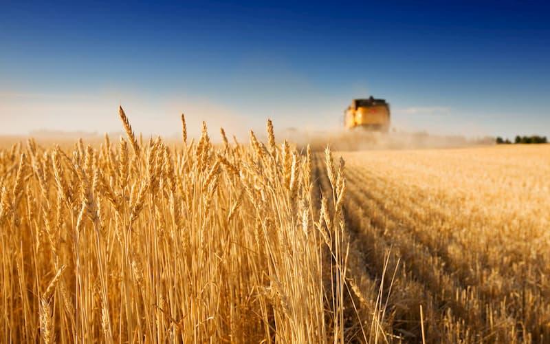 Как определить класс пшеницы